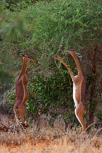 Gerenuk (Litocranius walleri) female standing on hind legs, eating, Tsavo East national park, Kenya  -  Denis-Huot