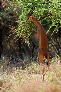 Gerenuk (Litocranius walleri) male eating, standing up on its hind legs, Samburu game reserve, Kenya  -  Denis-Huot