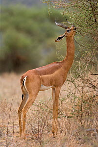 Gerenuk (Litocranius walleri) male feeding, Samburu game reserve, Kenya  -  Denis-Huot