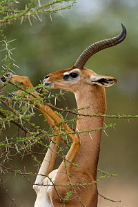Gerenuk (Litocranius walleri) male feeding, standing on hind legs, Samburu game reserve, Kenya  -  Denis-Huot