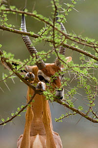 Gerenuk (Litocranius walleri) male eating whilst standing on hind legs with front legs on branch, Samburu game reserve, Kenya  -  Denis-Huot