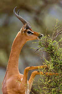 Gerenuk (Litocranius walleri) male eating, whilst standing on hind legs, Samburu game reserve, Kenya  -  Denis-Huot