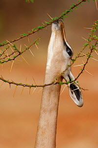 Gerenuk (Litocranius walleri) female eating, Samburu game reserve, Kenya  -  Denis-Huot