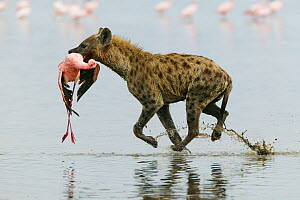 Spotted hyena (Crocuta crocuta) with Lesser flamingo (Phoenicopterus minor) it has just caught, Lake Nakuru, Kenya  -  Denis-Huot,Denis-Huot