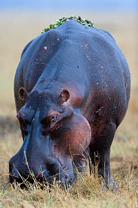 Hippo (Hippopotamus amphibius) male grazing with water lettuces (Pistia stratiotes) on its back, in the rain, Masai-Mara Game Reserve, Kenya. Vulnerable species.  -  Denis-Huot