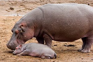 Hippo (Hippopotamus amphibius) mother and newborn, with red billed oxpecker (Buphagus erythrorhynchus)  on mother's ear. Masai-Mara Game Reserve, Kenya. Vulnerable species.  -  Denis-Huot