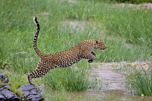 Leopard (Panthera pardus) female crossing the Talek river, Masai-Mara Game Reserve, Kenya - Denis-Huot
