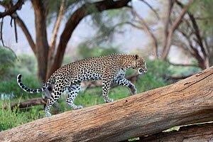 Leopard (Panthera pardus) female walking on fallen tree trunk, Samburu game reserve, Kenya  -  Denis-Huot