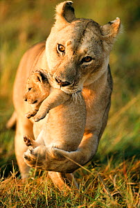 Lioness (Panthera leo) carrying her cub, Masai-Mara Game Reserve, Kenya  -  Denis-Huot