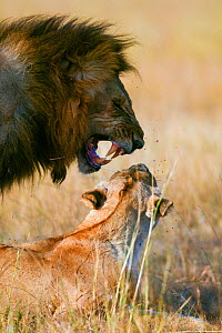 Lion (Panthera leo) mating, Masai-Mara Game Reserve, Kenya. Vulnerable species.  -  Denis-Huot,Denis-Huot