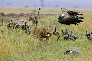 Lion (Panthera leo) male chasing  White backed vultures (Gyps africanus) off its prey, Masai-Mara Game Reserve, Kenya. Vulnerable species.  -  Denis-Huot,Denis-Huot
