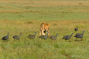 Lion (Panthera leo) young male watching a procession of Helemeted guineafowl (Numida meleagris), Masai-Mara Game Reserve, Kenya. Vulnerable species. - Denis-Huot