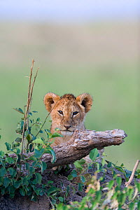 Lion (Panthera leo) cub, Masai-Mara Game Reserve, Kenya. Vulnerable species.  -  Denis-Huot,Denis-Huot