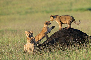 Lion (Panthera leo) cubs playing on termite mound, Masai-Mara, Kenya. Vulnerable species.  -  Denis-Huot