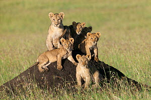 Lion (Panthera leo) cubs sitting on termite mound, Masai-Mara, Kenya. Vulnerable species. - Denis-Huot