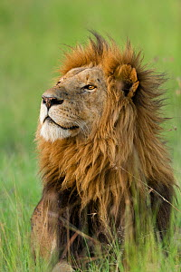 Lion (Panthera leo) male, Masai-Mara Game Reserve, Kenya. Vulnerable species.  -  Denis-Huot,Denis-Huot