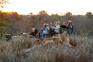 Tourists watching and photographing Lioness (Panthera leo) with cubs, Kruger national park, South Africa - Denis-Huot