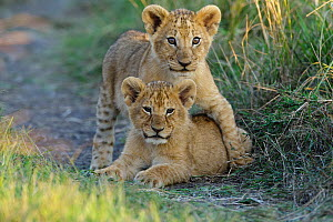 Lion (Panthera leo) cubs playing, Masai-Mara Game Reserve, Kenya. Vulnerable species. - Denis-Huot,Denis-Huot