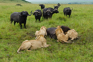 Lion (Panthera leo) males feeding on buffalo (Syncerus caffer) with other buffalos watching. Masai Mara, Kenya, Vulnerable species. - Denis-Huot,Denis-Huot