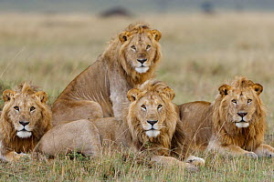 Lion (Panthera leo) males resting, Masai-Mara Game Reserve, Kenya. Vulnerable species.  -  Denis-Huot