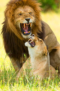 Lion (Panthera leo) mating, Masai-Mara Game Reserve, Kenya. Vulnerable species. - Denis-Huot