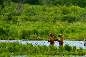 Grizzly bears (Ursus arctos horribilis) looking for salmon, Brooks river, Katmai national park, Alaska, North America,  -  Denis-Huot,Denis-Huot