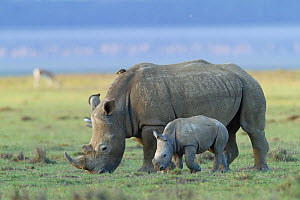 White rhino (Ceratotherium simum) mother and baby grazing, Nakuru National Park, Kenya  -  Denis-Huot