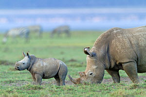 White rhino (Ceratotherium simum) mother and baby grazing, Nakuru National Park, Kenya - Denis-Huot,Denis-Huot