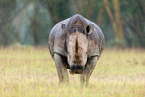 White rhino (Ceratotherium simum) in the rain, Nakuru National Park, Kenya - Denis-Huot,Denis-Huot