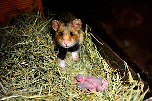 Female common hamster (Cricetus cricetus) with her newborn babies, age 2 days, Alsace, France, captive  -  Eric Baccega