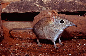Rufous elephant shrew (Elephantulus rufescens) Tuli Block, Botswana  -  Mark  MacEwen
