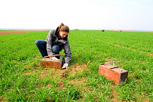 Scientists from the French Wildlife Department (ONCFS) placing traps to capture the common hamster (Cricetus cricetus) in a wheat field, Alsace, France, April 2013 Model released.  -  Eric Baccega
