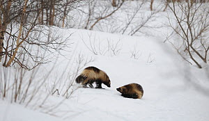 Wolverines (Gulo gulo) meeting, in dominant and submissive postures. Kronotsky Zapovednik Nature Reserve, Kamchatka Peninsula, Russian Far East, March. - Igor Shpilenok