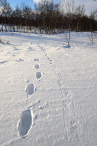 Parallel tracks of a person and a Wolverine (Gulo gulo); the Wolverine is adapted to easily walk over snow. Kronotsky Zapovednik Nature Reserve, Kamchatka Peninsula, Russian Far East, February. - Igor Shpilenok