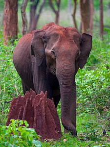 Asian Elephant (Elephas maximus) femalenext to termite mound in forest, Nagarhole National Park, South India - Axel Gomille,Axel  Gomille