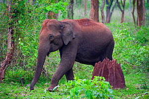 Asian Elephant (Elephas maximus) female walking past termite mound in forest, Nagarhole National Park, South India - Axel Gomille