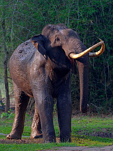 Asian Elephant (Elephas maximus) male covered in mud, Nagarhole National Park, South India  -  Axel  Gomille