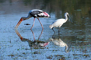Eurasian Spoonbill (Platalea leucorodia) and Painted Stork (Mycteria leucocephala) with baby Marsh Crocodile (Crocodylus palustris)  head in water in the background. India - Axel Gomille