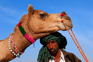 Camel herder with Dromedary camel (Camelus dromedarius) Thar Desert, Rajasthan, India  -  Axel Gomille,Axel  Gomille