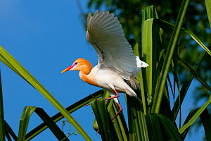 Cattle Egret (Bubulcus ibis) in breeding plumage, balancing on palm leaf, India - Axel  Gomille