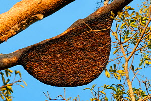 Giant honey bee nest (Apis dorsata), Karnataka, India - Axel Gomille