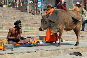 Zebu cattle (Bos primigenius indicus)  holy cow, walking past Sadhu or holy man, Varanasi, India  -  Axel  Gomille