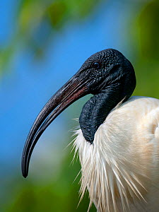 Black-headed Ibis / Oriental Ibis (Threskiornis melanocephalus), Karnataka, India  -  Axel Gomille,Axel  Gomille
