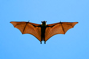 Indian Flying Fox (Pteropus giganteus), flying, India - Axel Gomille,Axel  Gomille
