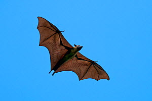 Indian Flying Fox (Pteropus giganteus), flying, with perforated wings, India  -  Axel Gomille