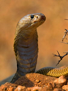 Indian Cobra or Spectacled Cobra (Naja naja), Karnataka, India  -  Axel  Gomille