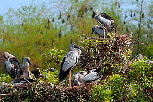 Asian Open-bill Stork (Anastomus oscitans), adults and young birds at colony, with Indian Flying Foxes (Pteropus giganteus) in the background, India  -  Axel Gomille
