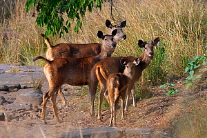 Sambar Deer (Cerus unicolor), alert females with offspring, Ranthambhore National Park, Rajasthan, India  -  Axel Gomille