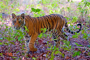 Tiger (Panthera tigris tigris) cub, Bandhavgarh National Park, India - Axel  Gomille
