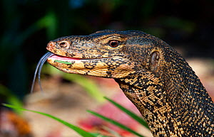 Water monitor (Varanus salvator), portrait, flicking tongue, Thailand - Axel Gomille